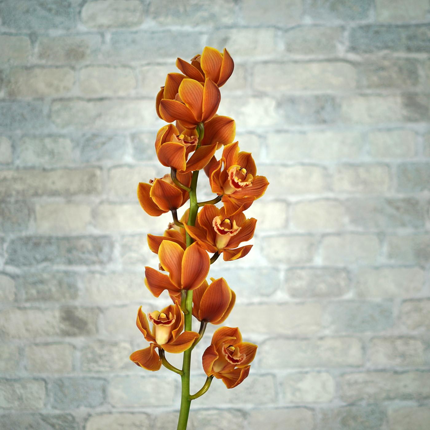 Орхидея Цимбидиум «Оранж»