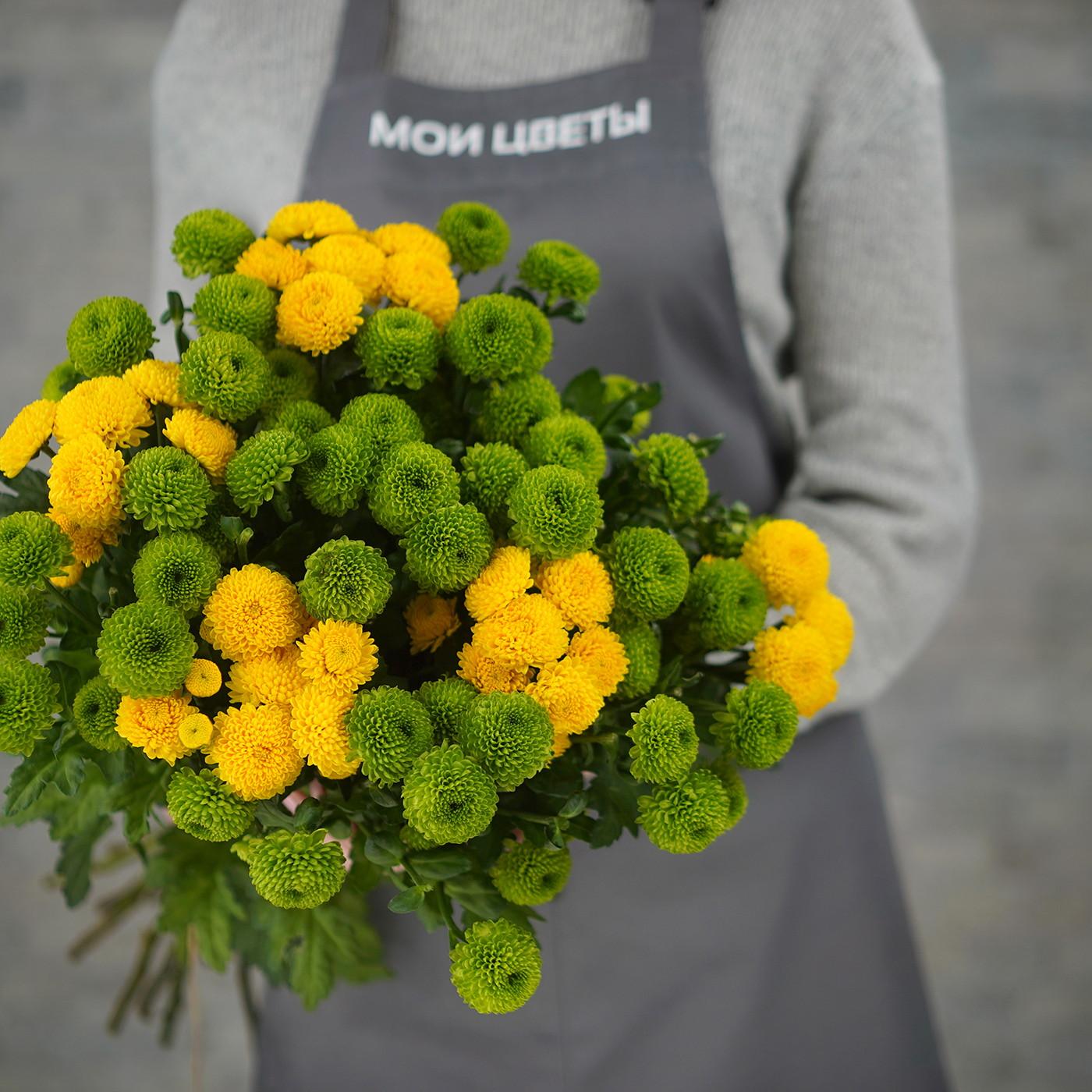 Хризантема кустовая «Филин», Голландия
