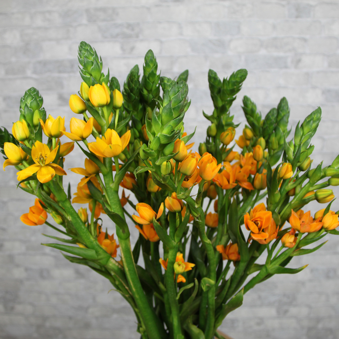 Орнитогалум оранжевый, Колумбия