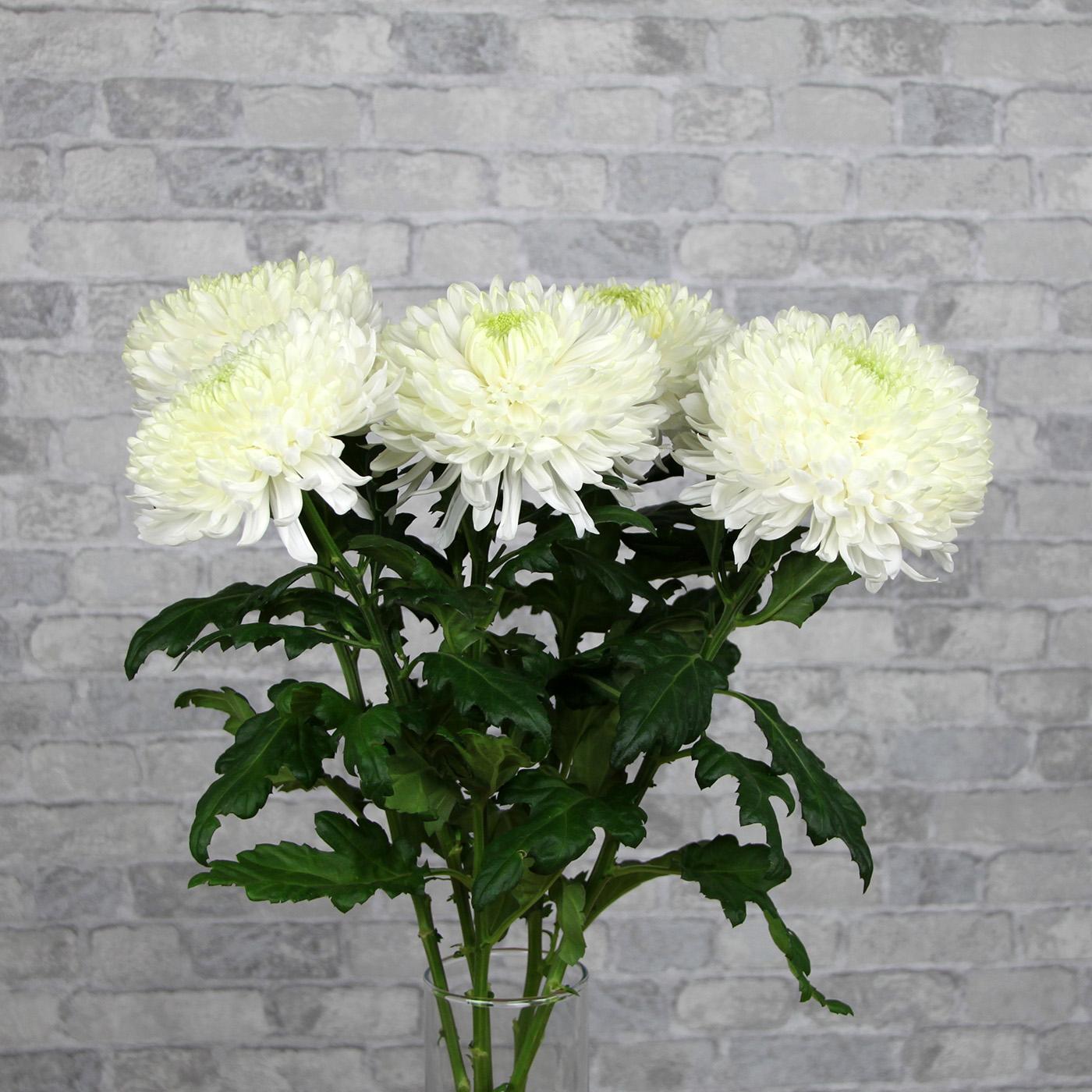 Хризантема белая «Магнум», Голландия
