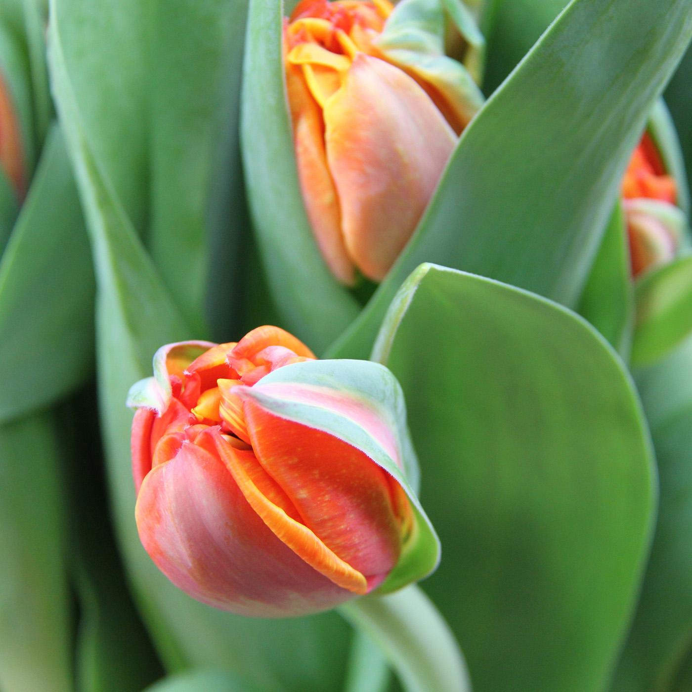 Тюльпан оранжевый «Оранж принцесс», Голландия