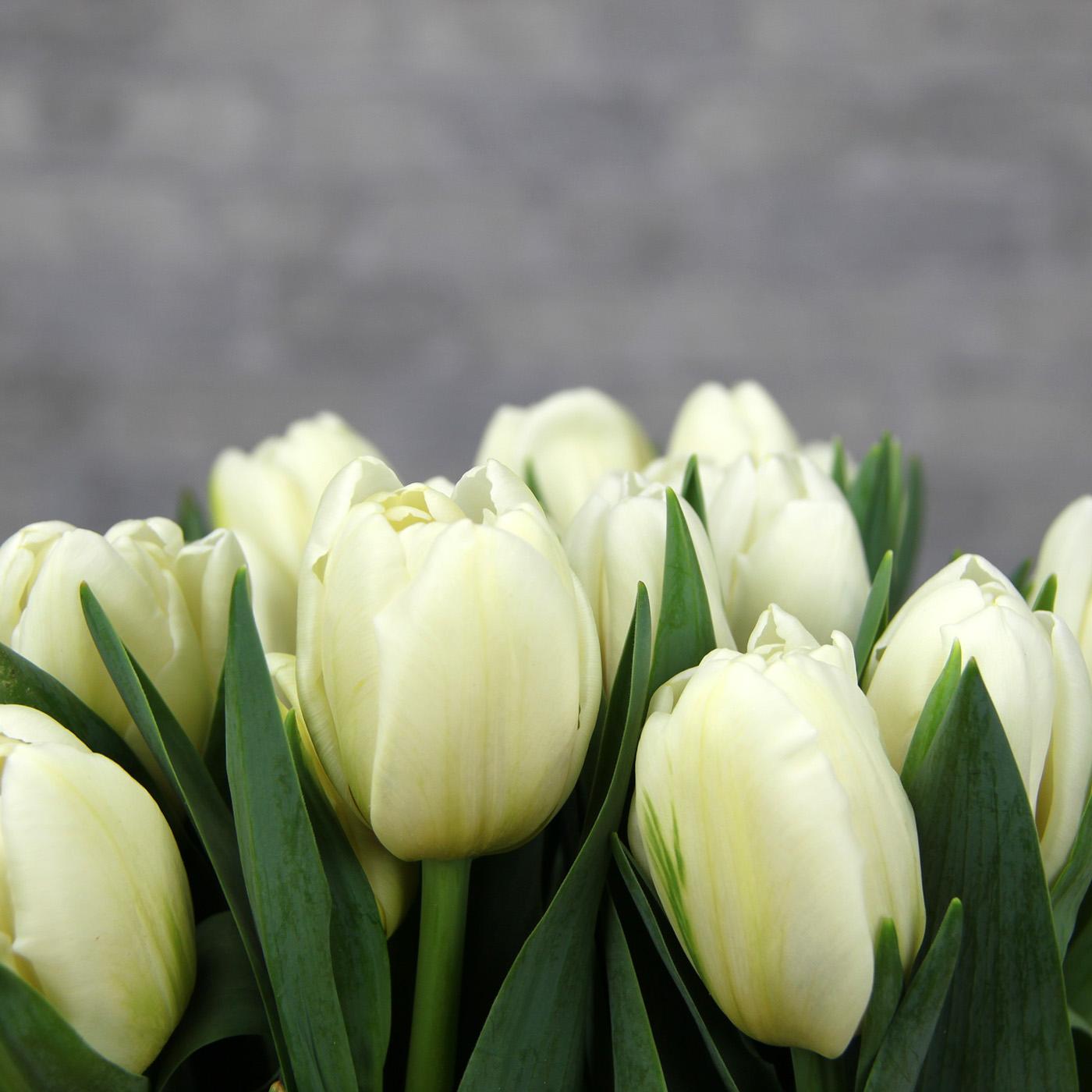 Тюльпан белый «Дарвин сноу», Голландия