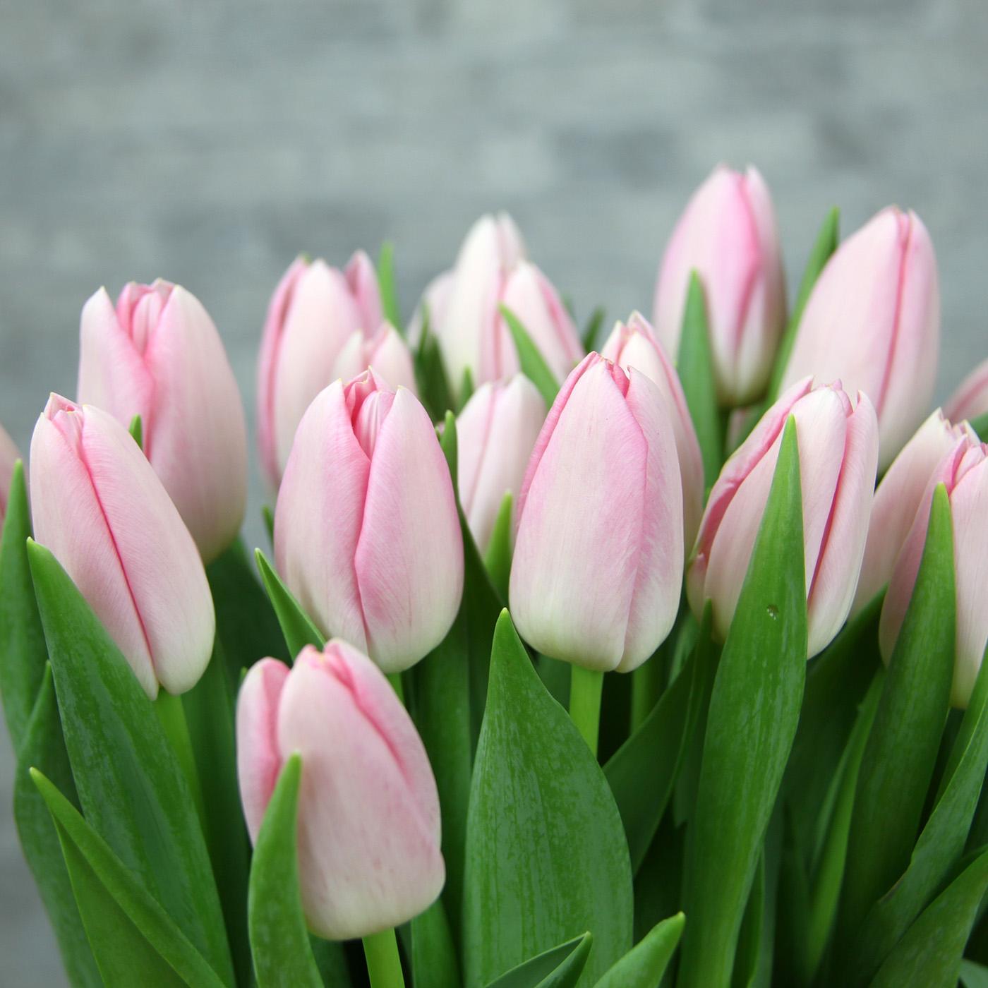 Тюльпан двуцветный «Барселона бьюти», Голландия