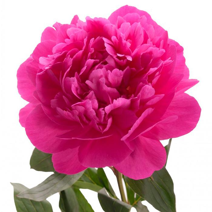 Пион розовый «Александр Флеминг», Голландия